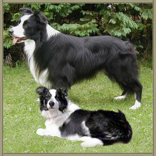 15-orias-border-collie.jpg